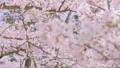 HD桜-12(午前) 54948960