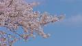 HD桜-09(午前) 54948963