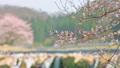 HD桜-05(滝) 54949030