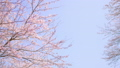HD桜-04(滝) 54949031