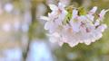 HD桜-02(水面) 54949033
