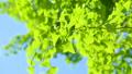 新緑 銀杏 55203646