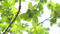 新緑 梅の実 55203741