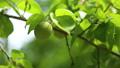 新緑 梅の実 55203743