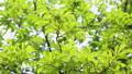 新緑 梅の実 55203745