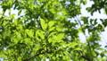 新緑 梅の実 55203746