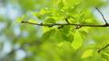 新緑 梅の葉 55203748