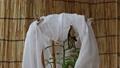 ナミアゲハの羽化[羽が伸びきったあと] 55265626
