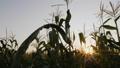 Corn field with sunbeams 55286853