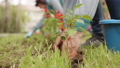 Female hands planting flowers on green lawn in summer garden. Gardener transplanting blooming 55409619