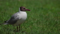 seagull on the grass. Summer 55486149