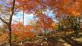 山中湖畔の紅葉(移動撮影・前進) 55562690