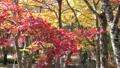 山中湖畔の紅葉(斜め移動) 55562698