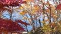 山中湖畔の紅葉(ズームアウト) 55562702
