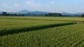 Rural scenery in August, Semboku City, Akita Prefecture, aerial photography, agricultural image 55607872
