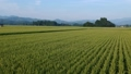 Rural scenery in August, Semboku City, Akita Prefecture, aerial photography, agricultural image 55607873