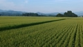 Rural scenery in August, Semboku City, Akita Prefecture, aerial photography, agricultural image 55607874