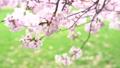 樱花盛开(修复拍摄) 55974164