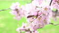 樱花盛开(修复拍摄) 55974167