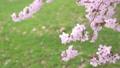 樱花盛开(修复拍摄) 55974169