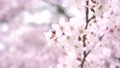樱花盛开(修复拍摄) 55974173