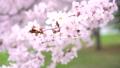 樱花盛开(修复拍摄) 55974175