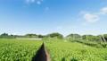 4K 牧歌的風景 タイムラプス 夏 静岡県 茶畑と新幹線 ティルト 56012213