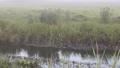 오세원 _ 아침 안개 습지와 강을 헤엄 치는 오리 새끼들 _ 8 월 _4K 56302612