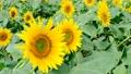 向日葵とミツバチ 56588614