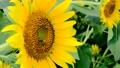 向日葵とミツバチ 56588615