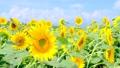 向日葵 56588616