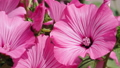 Group of bright pink hibiscus flowers - the perfect nice natural background - close up. 56613662