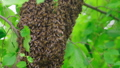 Swarm of bees. Creating a new bee colony on a tree branch. FullHD 56745390