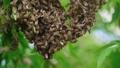 Swarm of bees. Creating a new bee colony on a tree branch. Slow motion 56745392