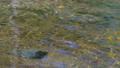上高地 田代池の川の流れ 56810496