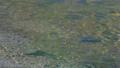 上高地 田代池の川の流れ 56810498