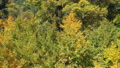 Aerial drone over ginkgo forest in early autumn 56823791