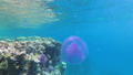 Pink Jellyfish Floating in Clear Blue Water of Red Sea near the Coral Reef. Egypt. 56915206