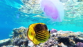 Jellyfish and Butterfly Yellow Fish Floating in Red Sea near the Coral Reef. Egypt. 56915214