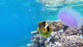 Jellyfish and Butterfly Yellow Fish Floating in Red Sea near the Coral Reef. Egypt. 56915232