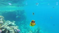 Butterfly Yellow Fish Floating in Red Sea near the Coral Reef. Egypt. 56915246