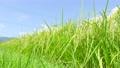 夏の稲 (8月下旬) 57001117