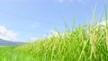 夏の稲 (8月下旬) 57001118