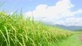 夏の稲 (8月下旬) 57001120