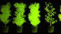 Cannabis Plants in Abstract Lights Looping 3D Animation 57033397