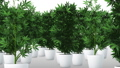 Cannabis Plants 3D Animation 2 57033399