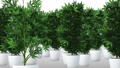 Cannabis Plants 3D Animation 1 57033400