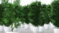Cannabis Plants 3D Animation 1 57033400