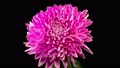 Time Lapse of Beautiful Pink Chrysanthemum Flower Opening Against a Black Background. 57067126