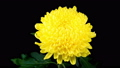 Time Lapse of Beautiful Yellow Chrysanthemum Flower Opening Against a Black Background. 57067128